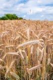 Уши пшеницы стоковые фото
