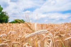 Уши пшеницы стоковые изображения