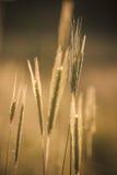 Уши пшеницы. Стоковое Изображение