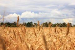 Уши пшеницы стоковые фотографии rf