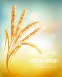 Уши пшеницы бесплатная иллюстрация