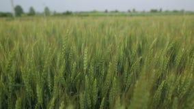 Уши пшеницы видеоматериал