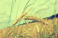 Уши пшеницы Стоковые Изображения RF