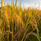 Уши риса вися вниз от стержней Стоковое Фото