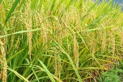 Уши риса Стоковые Фотографии RF