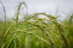 Уши риса Стоковые Изображения