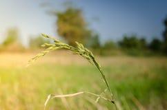 Уши риса Стоковое Изображение