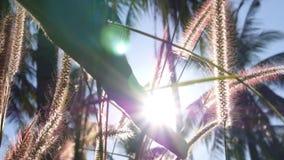 Уши руки касающие травы в лучах Солнця медленно сток-видео