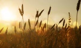 Уши силуэтов пшеницы в заходе солнца освещают Стоковые Изображения RF