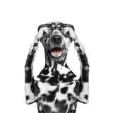 Уши собаки закрыли его глаза и спрятали Стоковое Изображение RF