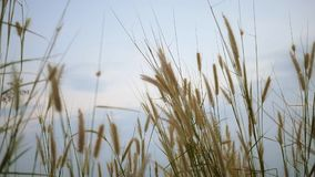 Уши травы на заходе солнца phuket Таиланд видеоматериал
