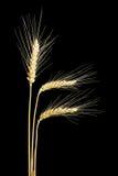 3 уш пшеницы на темной предпосылке Стоковая Фотография RF