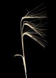 3 уш ячменя на темной предпосылке Стоковые Изображения RF