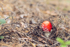 Уютное ультрамодное фото осени мухомора гриба отравы в лесе Стоковые Фото