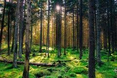Уютный мшистый зеленый лес с теплым back-light в заходе солнца Стоковое Фото