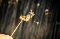 дуя семена одуванчика Стоковое Изображение