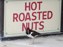 Улавливатель устрицы представляя горячей зажаренной в духовке гайкой подписывает внутри Атлантик-Сити, Нью-Джерси Стоковое фото RF