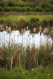 Удары Cattail Typhaceae Typha Reedmace Bulrushes Bulrush пушистые Стоковые Фотографии RF