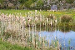 Удары Cattail Typhaceae Typha Reedmace Bulrushes Bulrush пушистые Стоковое Изображение