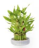 Удачливый бамбук в зеленой изолированной вазе Стоковые Фотографии RF