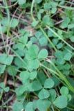 Удачливый клевер с 5 листьями Стоковое Изображение RF