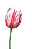 Удваивает покрашенный красно-белый тюльпан на белизне Стоковое Фото