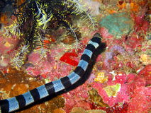 Змейка моря Стоковая Фотография