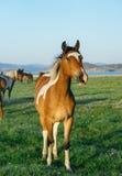 Удивленная и смешная лошадь в заповеднике Lake Baikal Стоковая Фотография