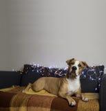 Удивленная собака на кресле в живущей комнате с рождественской елкой установила Стоковое Изображение RF