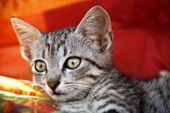 удивленный кот Стоковые Фотографии RF
