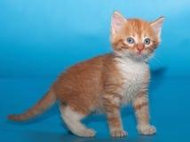 Удивленный пушистый котенок имбиря на сини стоковые фото