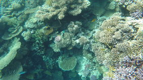 Удите в поисках еды среди кораллов на рифе видеоматериал