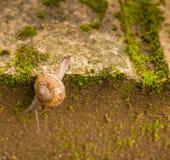 Улитка взбираясь вниз через край серой кирпичной стены с gree стоковая фотография rf