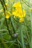 Улитка и меньшее Spearwort Стоковое Изображение