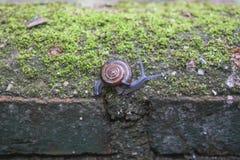 Улитка идя на стену Стоковая Фотография RF