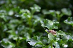 Улитка на влажных зеленых листьях стоковое фото