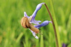 Улитка на голубом цветке стоковое фото