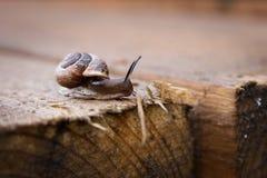 Улитка на деревянной доске, деревянная предпосылка напольно Стоковое фото RF