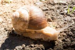 Улитка на земле почвы Стоковая Фотография