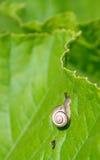 Улитка на зеленых лист Стоковое Изображение