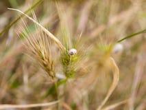 Улитка на колоске пшеницы Стоковые Изображения RF