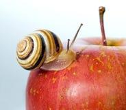 Улитка на красном яблоке стоковые фотографии rf