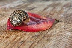 Улитка на красных лист стоковая фотография
