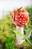 Улитка на краю шляпы пластинчатого гриба мухы Стоковое Фото