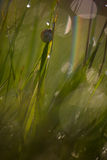 Улитка на черенок травы Стоковые Фотографии RF