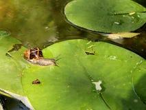 Улитка принуждая waterlily лист стоковые фото