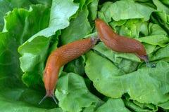 Улитка с лист салата стоковое изображение rf