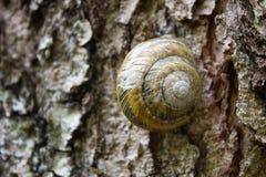 Улитка с круглой раковиной на дереве Стоковая Фотография RF
