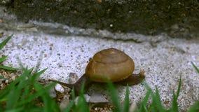 Улитка Crawler на траве Видео макроса акции видеоматериалы
