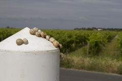 Улитки на белом пале в Il de Re с виноградниками в темном небе Стоковое Изображение